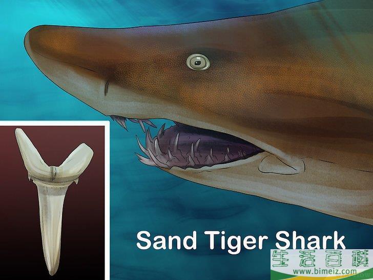 如何辨认鲨鱼的牙齿